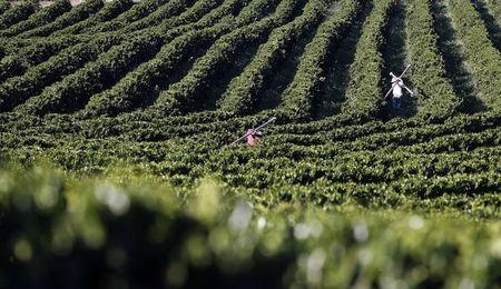 Plantacao de cafe