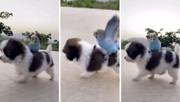 image for Cachorro pasea a un periquito en su lomo