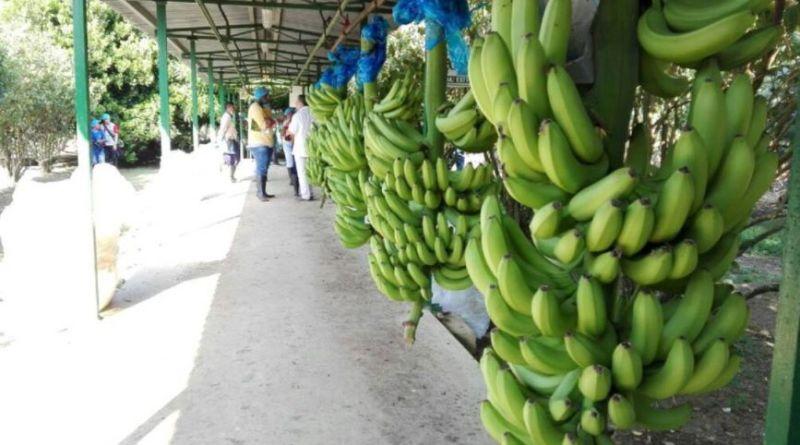image for Sector bananero tendrá cero aranceles para exportaciones