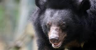 image for Coronavirus es tratado con bilis de oso / China