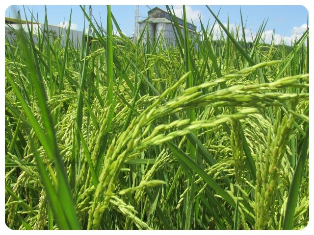 Atención arroceros, inició proceso de registro de intención de siembra para 2021