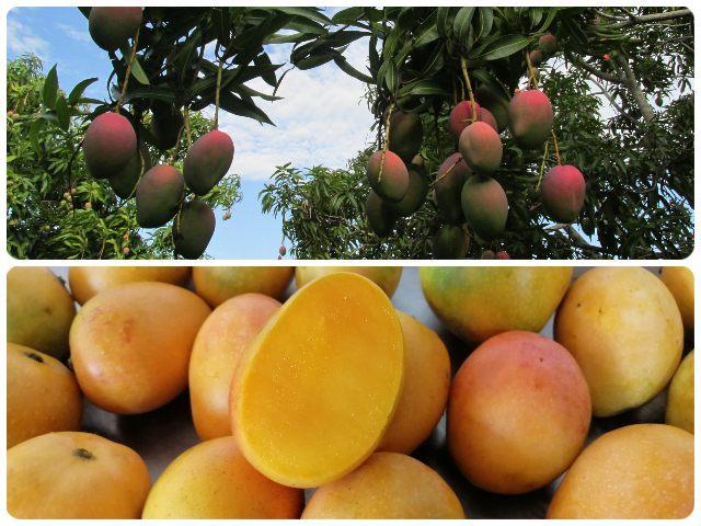 Colombia amplía el número de predios productores de mango para exportar a la Unión Europea
