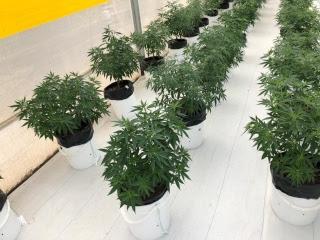 Apertura del mercado suizo para la importación de semilla de cannabis de origen colombiano