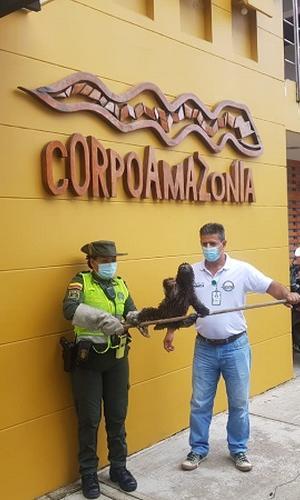 RESCATAMOS  OSO PEREZOSO EN EL BARRIO VICTORIA REGIA DE LETICIA