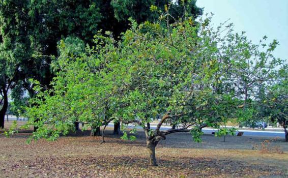 Arbol de Guayaba en la selva
