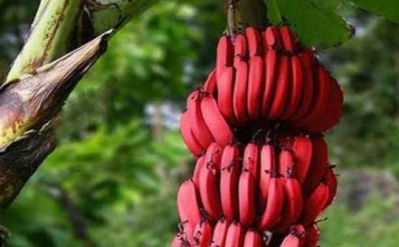 Bananas rojas