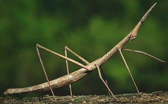 Un insecto palo en una rama
