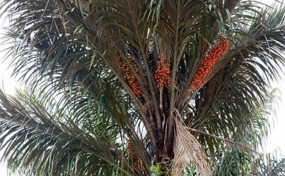 Foto de palma de mas de 15 metros
