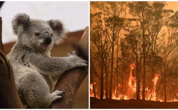 image for Mitad de la población de koalas habría muerto en Autralia por incendios