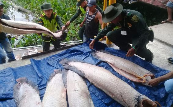 image for Policía ambiental incautan varios kilos de carne de pirarucu