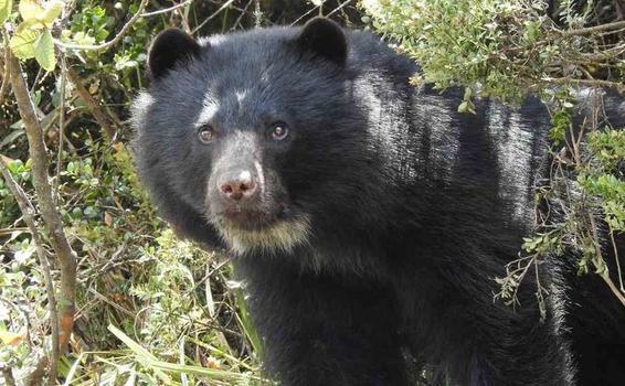 image for Imágenes de osos de anteojos jugando son captadas en Colombia
