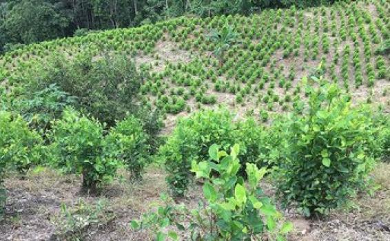 image for Gobierno Nacional buscará erradicar 130 000 hectáreas de hoja de coca