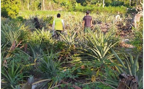 image for Inspección fitosanitaria para proteger cultivos de piña | Vaupés