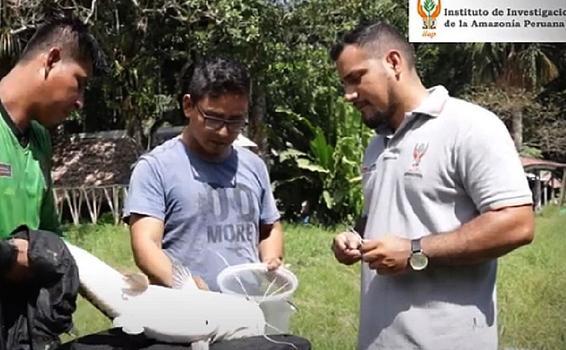 image for Científicos peruanos investigan parásitos que afectan a peces amazónicos