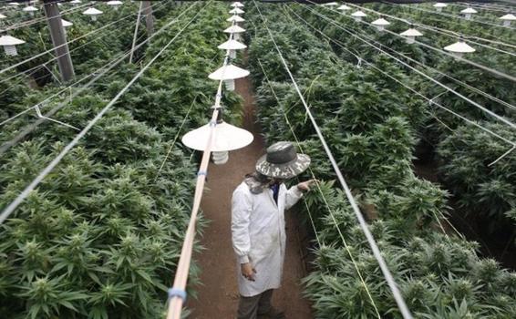 image for Colombia entra al negocio de ropa hecha con cáñamo de cannabis