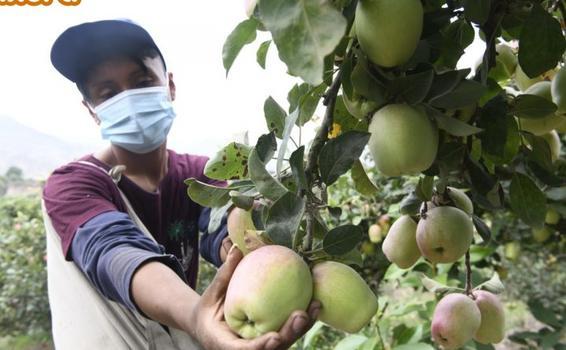 image for Mejoran producción de manzana en Huaral con guano de las islas