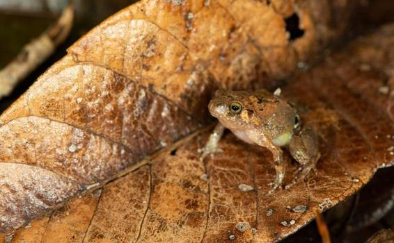 image for Encuentran una nueva especie de rana diamante en Madagascar
