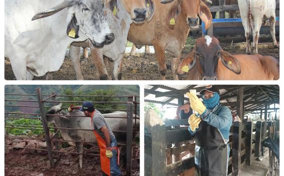 Ciclo contra aftosa fue exitoso e inmunizó 28,9 millones de bovinos en Colombia.