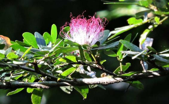 Selva amazónica medicina Bobinsana