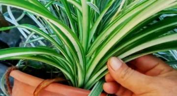 image for Plantas verdaderas bombas de oxígeno
