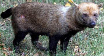 image for Raros perros de monte fueron captados en Amazonía de Bolivia
