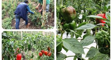 image for Gobierno nacional logró que Colombia exporte pimentones y ají a Estados Unidos