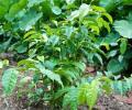 Planta medicinal de 5 hojas
