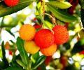 Fruto el Garcinia madruno
