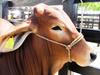 image for ICA alerta sobre brotes de estomatitis vesicular en Arauca